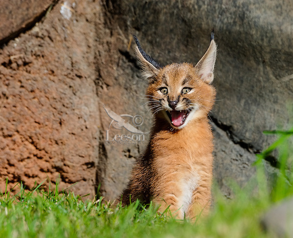 Young Caracal Kitten (Caracal caracal) calling for mom.  Caracals are found in Africa to Central Asia and India.