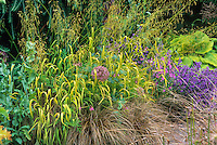 Milium effusum 'Aureum' flowering grass with Carex comans in perennial border. Grass and sedge tapestry.