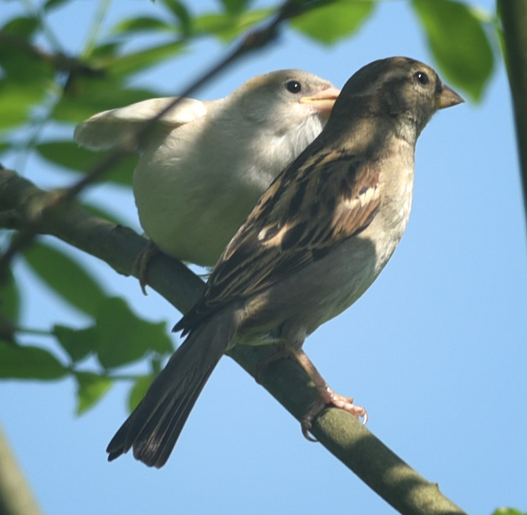 AN ALBINO HOUSE SPARROW FLEDGLING WITH ITS MOTHER. PHOTO BY CLARE KENDALL. 07971 477316