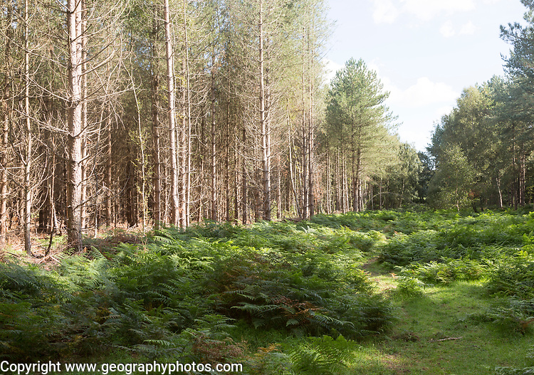 Coniferous pine trees in forestry plantation, Rendlesham Forest, Suffolk, England, UK