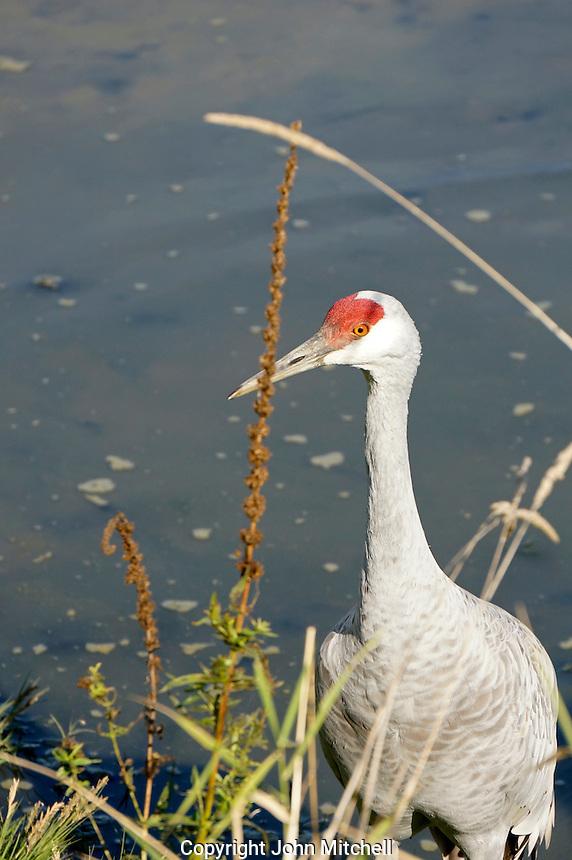 Sandhill crane wading in wetlands at the George C. Reifel Migratory Bird Sanctuary, Delta, BC, Canada
