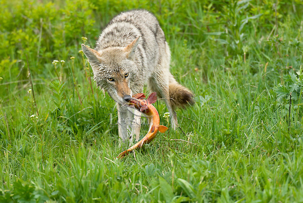Wild Coyote (Canis latrans) with cutthroat trout it has just caught in nearby stream.  Western U.S., June.