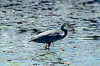HN01-039z  Great Blue Heron - feeding in pond in Maine - Ardea herodias