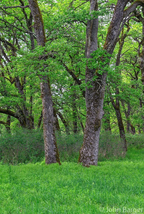 ORWVS_D111 - USA, Oregon, Sauvie Island Wildlife Area, Grove of Oregon white oak trees above spring flora at Oak Island.