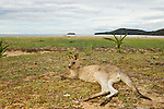 Eastern Grey Kangaroo (Macropus giganteus) resting on beach, Pebbly Beach, Murramarang National Park, New South Wales, Australia