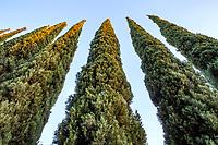Cupressus sempervirens ssp. fastigata Italian Cypress trees; Arlington Garden, Pasadena