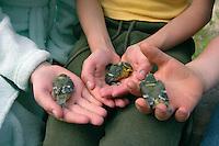 Blaumeise, pflegebedürftiges, verwaistes Küken in Hand, Blau-Meise, Cyanistes caeruleus, Parus caeruleus, Blue Tit, Mésange bleue