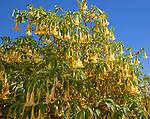 Yellow trumpet flowers of Brugmansia plant,  Learn Angel Trumpet Tree, growing in public park in