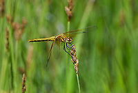 362700048 a wild immature male band-winged meadowhawk sympetrum semicintum perches on a wild grass stem near a bog pond in central modoc county california