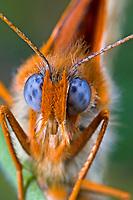 Roter Scheckenfalter, Feuriger Scheckenfalter, Melitaea didyma, spotted fritillary, red-band fritillary, La Mélitée orangée