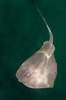 Pelagic Stingray Dasyatis violacea. A circumtropical and subtropical pelagic species often found swimming in midwater. Placed by some taxonomists in its own genus as pteroplatytrygon violacea. La Paz, Sea of Cortez, Mexico.