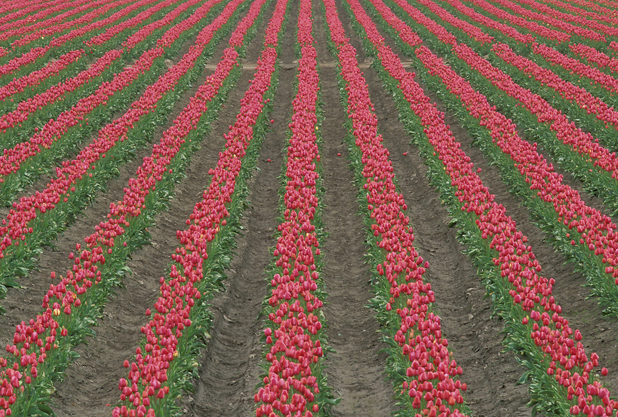 Rows of red tulips in field, Mount Vernon, Skagit Valley, Washington
