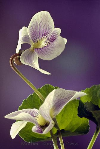 Possible hybrid of Viola missouriensis, or Missouri Violet a type of white violet, Viola sororia var. missouriensis, native wildflower,