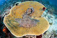tasselled Wobbegong, Eucrossorhinus dasypogon on a hard coral, Raja Ampat, West Papua, Indonesia, Indo-Pacific Ocean