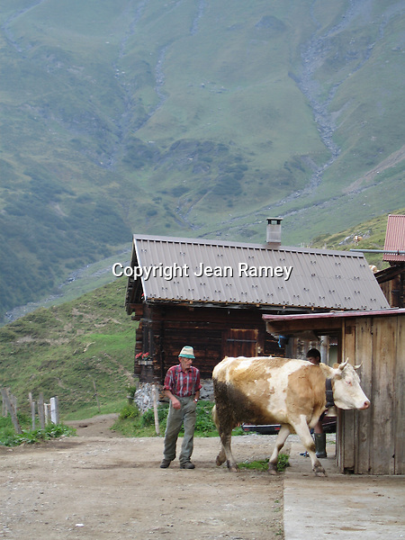 Farmer heards a cow at an alpine dairy farm high in the Swiss Alps