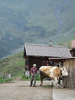 Farmer heards a cow at an alpine dairy farm high in the Swiss Alps