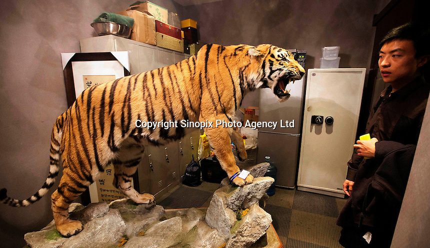 """A stuffed Manchurian tiger for sale in Western Chinese city of Kunming, Yunnan Province for three million RMB, <br /> (282,532 UK pounds).  The tiger a rare and severely endangered species, mostly extinct in China, was for sale in a back room of a shop in a luxury part of the city.  The shop-owner claimed that the tiger sale was registered as legal. China's wild tiger population has been all but decimated but the country currently has an on going breeding program and there are more tigers in ""tiger farms"" than the world's entire wild population.  It has long been contended that the tiger farms provide tiger products ranging from tiger parts for medicine and bones for tiger wine, as well as stuffed whole animals and skins for collectors.  Animals groups have been campaigning to close down tiger farms for over a decade."