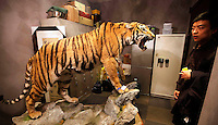 &quot;A stuffed Manchurian tiger for sale in Western Chinese city of Kunming, Yunnan Province for three million RMB, <br /> (282,532 UK pounds).  The tiger a rare and severely endangered species, mostly extinct in China, was for sale in a back room of a shop in a luxury part of the city.  The shop-owner claimed that the tiger sale was registered as legal. China's wild tiger population has been all but decimated but the country currently has an on going breeding program and there are more tigers in &quot;tiger farms&quot; than the world's entire wild population.  It has long been contended that the tiger farms provide tiger products ranging from tiger parts for medicine and bones for tiger wine, as well as stuffed whole animals and skins for collectors.  Animals groups have been campaigning to close down tiger farms for over a decade.