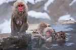 Japan, Japanese Alps, snow monkey with wet fur after coming out of hot spring