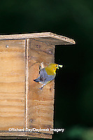 01504-00115 Prothonotary Warbler (Protonotaria citrea) female with food at nest box, Marion Co.   IL