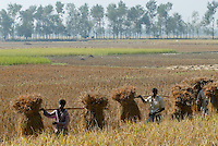 "Asien Suedasien Bangladesh , Anbau von Reis bei Bogra , Einbringen der Reisernte vom Reisfeld -  Landwirtschaft xagndaz | .South asia Bangladesh , paddy cultivation near Bogra , farmer carry the rice after harvest from rice field for trashing - agriculture .| [ copyright (c) Joerg Boethling / agenda , Veroeffentlichung nur gegen Honorar und Belegexemplar an / publication only with royalties and copy to:  agenda PG   Rothestr. 66   Germany D-22765 Hamburg   ph. ++49 40 391 907 14   e-mail: boethling@agenda-fototext.de   www.agenda-fototext.de   Bank: Hamburger Sparkasse  BLZ 200 505 50  Kto. 1281 120 178   IBAN: DE96 2005 0550 1281 1201 78   BIC: ""HASPDEHH"" ,  WEITERE MOTIVE ZU DIESEM THEMA SIND VORHANDEN!! MORE PICTURES ON THIS SUBJECT AVAILABLE!!  ] [#0,26,121#]"