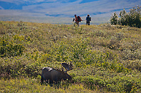 Large bull moose feeds on tundra vegetation of willows and alders in Denali National Park, Interior, Alaska.