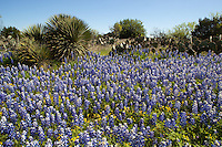 Bluebonnets surround the yucca in Lake Buchanan Texas prickly pear cactus yucca plant plants yellow flower flowers 2010 season
