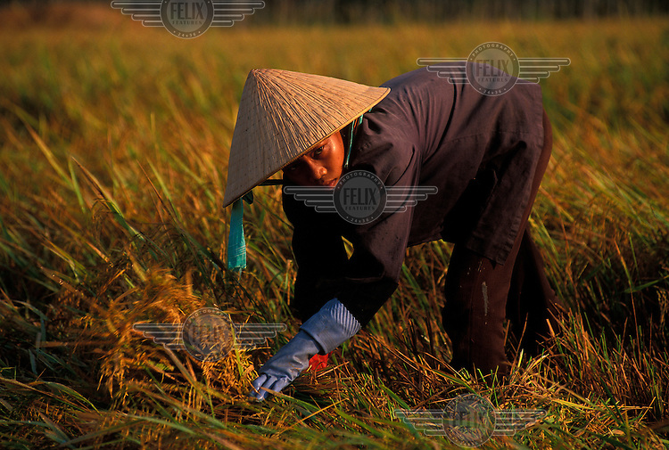 Khmer migrant worker harvesting rice near to Phuong Hiep, in the heart of the south Vietnamese delta region where much of the country's irrigated lowland rice is produced. Rice is the single most important crop in Vietnam involving 70 percent of the working population.