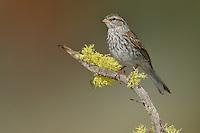 Chipping Sparrow - Spizella passerina - Juvenile
