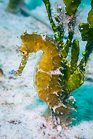 Thorny seahorse, Hippocampus histrix, Mabul, Sabah, Malaysia, Celebes Sea, Pacific Ocean