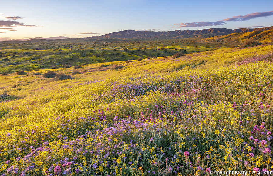 Carrizo Plain National Monument, CA: Monolopia, Owl's-clover, and phacelia covering a gentle slope with clearing morning clouds over the Caliente Range.