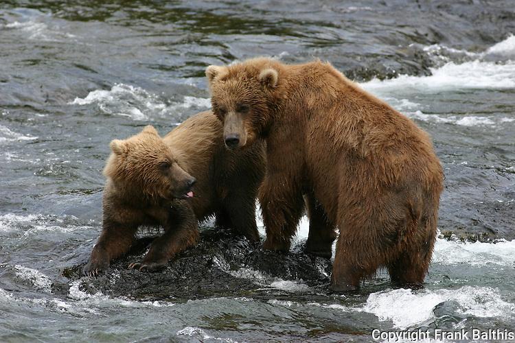 Alaska brown  bears at Brooks Falls
