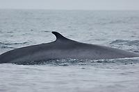 Fin Whale, Balaenoptera physalus, Dorsal fin, Off the coast of San Diego California