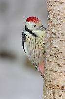Mittelspecht, sucht an Baumstamm nach Nahrung, Mittel-Specht, Specht, Leiopicus medius, Dendrocopos medius, Picoides medius, middle spotted woodpecker