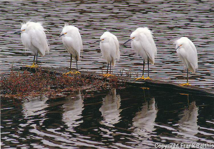 FB-S106,   Snowy egret on log