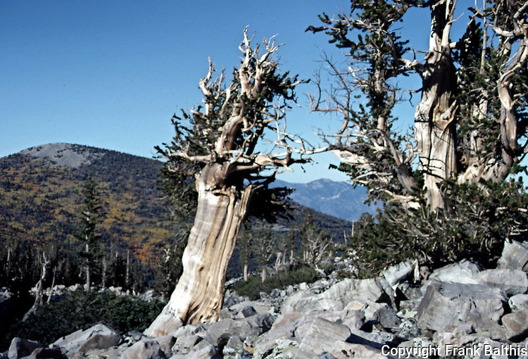 Bristlecone pine trees at Great Basin National Park