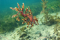 leafy Seadragon, Phycodurus eques, a male leafy seadragon with only a few eggs left. They have already begun hatching. The eggs would be around 6 weeks old, Wool Bay, South Australia, Australia, Southern Ocean