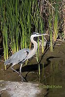 0829-0906  Great Blue Heron, Ardea herodias © David Kuhn/Dwight Kuhn Photography