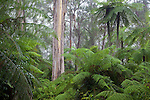 tree fern forest , Gibraltar Range National Park, New South Wales, Australia