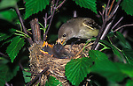 Willow Fly Catcher on nest feeding peep.