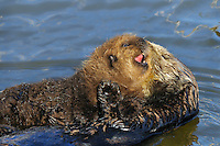 Sea Otter (Enhydra lutris) pup on mom's tummy.