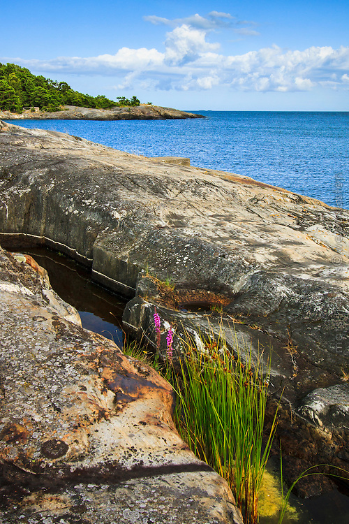 Blommor vid klippa havet skärgården på Utö i Stockholms skärgård
