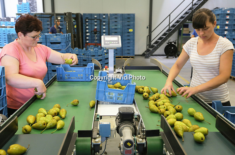 Foto: VidiPhoto<br /> <br /> LIENDEN - Personeel van Halm Fruit in Lienden is maandag bezig met het inpakken van schoolfruit. Scholen die meedoen met EU-schoolfruit krijgen twintig weken lang, drie dagen per week, voor alle leerlingen gratis fruit. De teler die het fruit levert krijgt betaald door de EU. Halm Fruit verzorgt het schoolfruit voor 120 scholen.