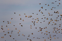Star, Stare, Trupp, Schwarm, Starenschwarm, Sturnus vulgaris, European starling, common starling, L'Étourneau sansonnet