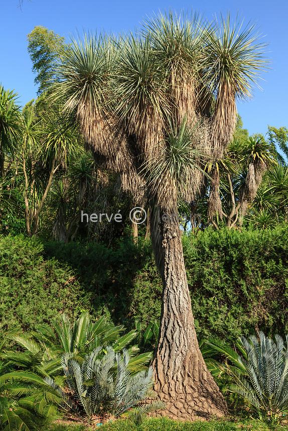 France, Alpes-Maritimes (06), Saint-Jean-Cap-Ferrat, le jardin botanique des C&egrave;dres:<br /> Beaucarnea stricta entour&eacute; au pied de 2 Encephalartos lehmanii.