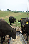 Black Angus Cattle in Kentucky eating from a trough.