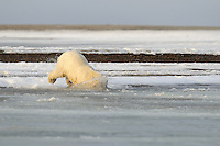 And it's head first at full speed for this cub. Every fall, polar bears gather near the community of Kaktovik, Alaska, on the northern edge of ANWR, waiting for the Arctic Ocean to freeze. The bears have become a symbol of global warming.