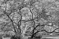 Maple Trees, Seattle, Washington