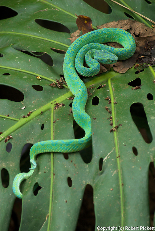 Honduran Palm Pit Viper Snake, Bothriechis marchi, Green and relatively slender with a prehensile tail, Honduras and eastern Guatemala, venemous, coiled on leaf.Central America....
