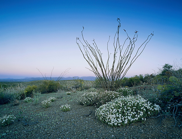 Desert in bloom with Plains Black-Foot and Ocotillo, Big Bend National Park,Texas, USA